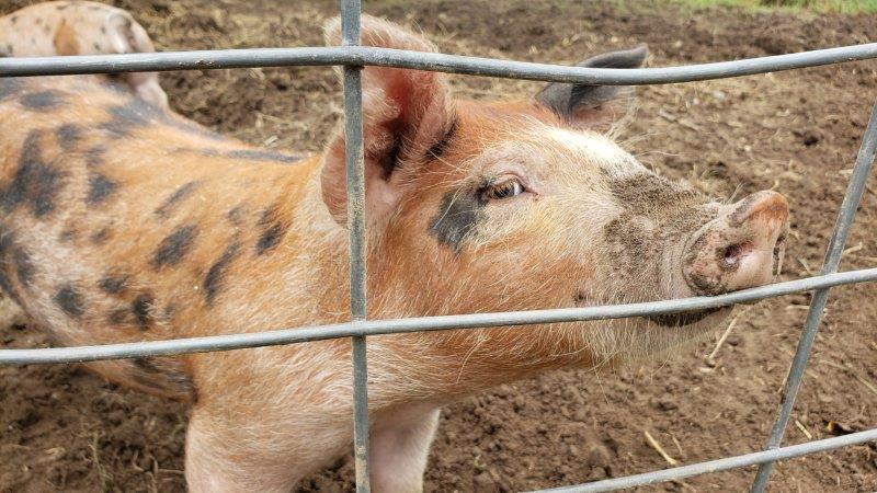 Pigs at the Petting Farm