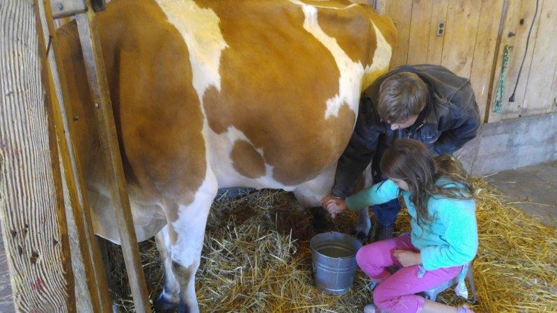 Milking a cow at Upland Hills Farm